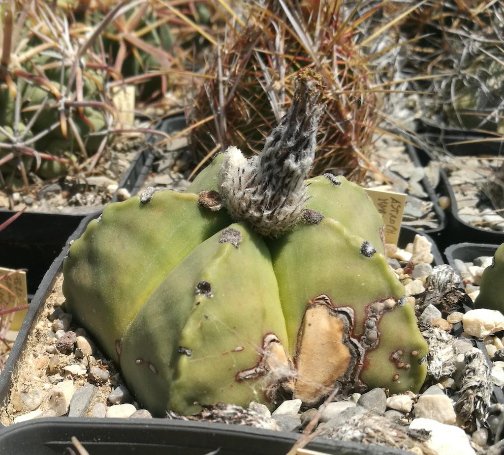 Astrophytum myriostigma nudum macchiato