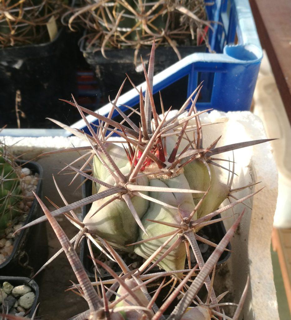 Echinocactus platyacanthus mia semina