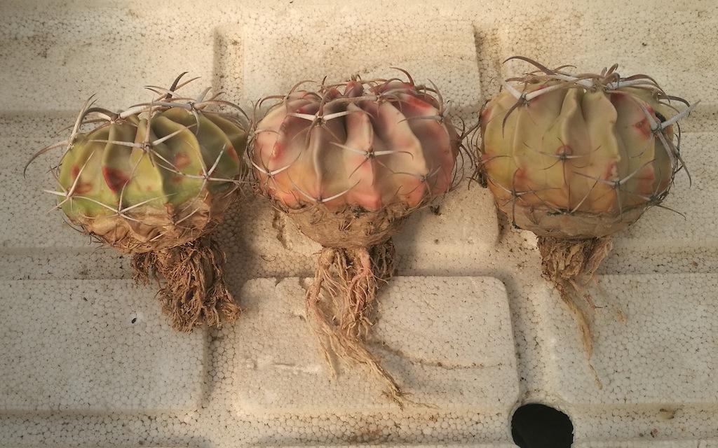 Echinocactus texensis piante sofferenti