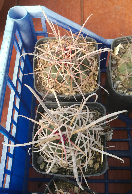 Ferocactus acanthodes raffronto coltivazione fuori e dentro serra
