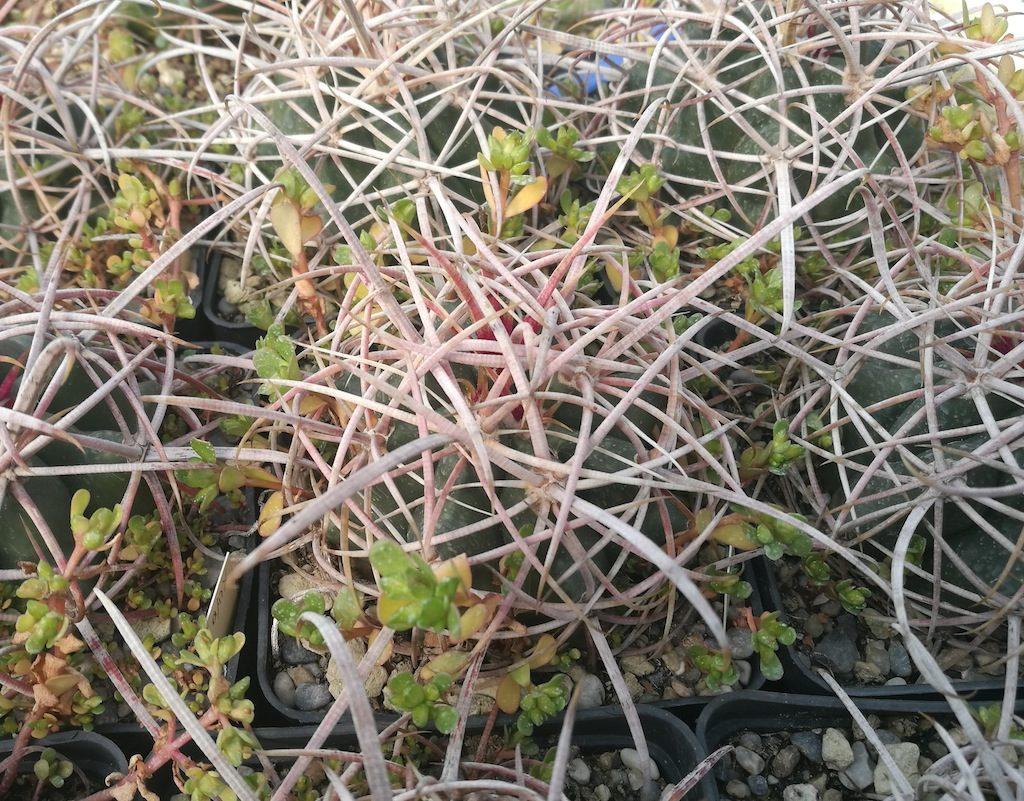 Ferocactus acanthodes wild
