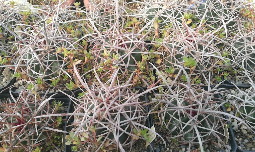 Coltivazione spartana in pieno sole, e i risultati si vedono: piante sane e spine robuste