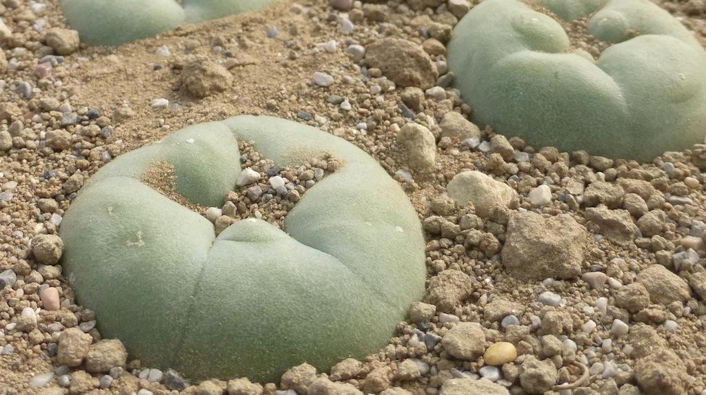 """Lophophora williamsii, il cactus """"fuorilegge"""" in Italia: facciamo chiarezza sulla normativa"""