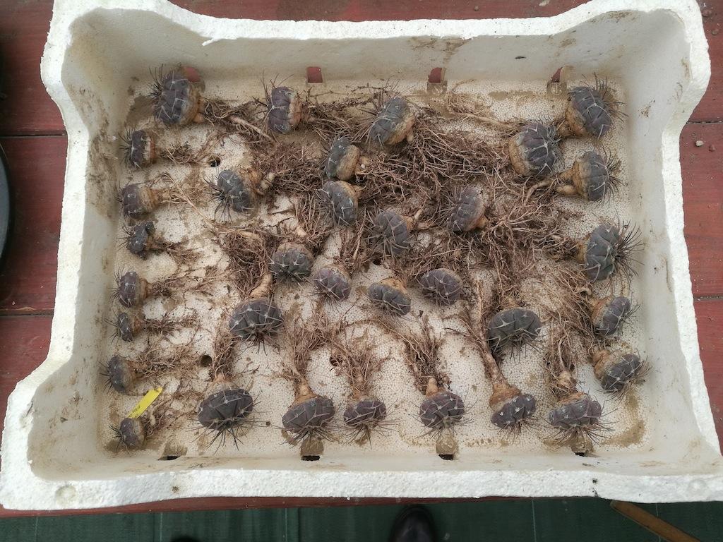 Gymnocalycium spegazzinii, mie semine svasate