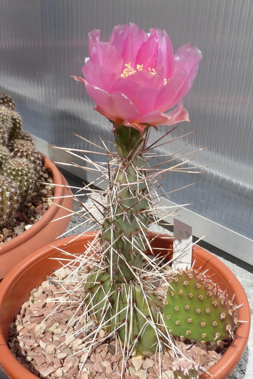 Opuntia rhodantha