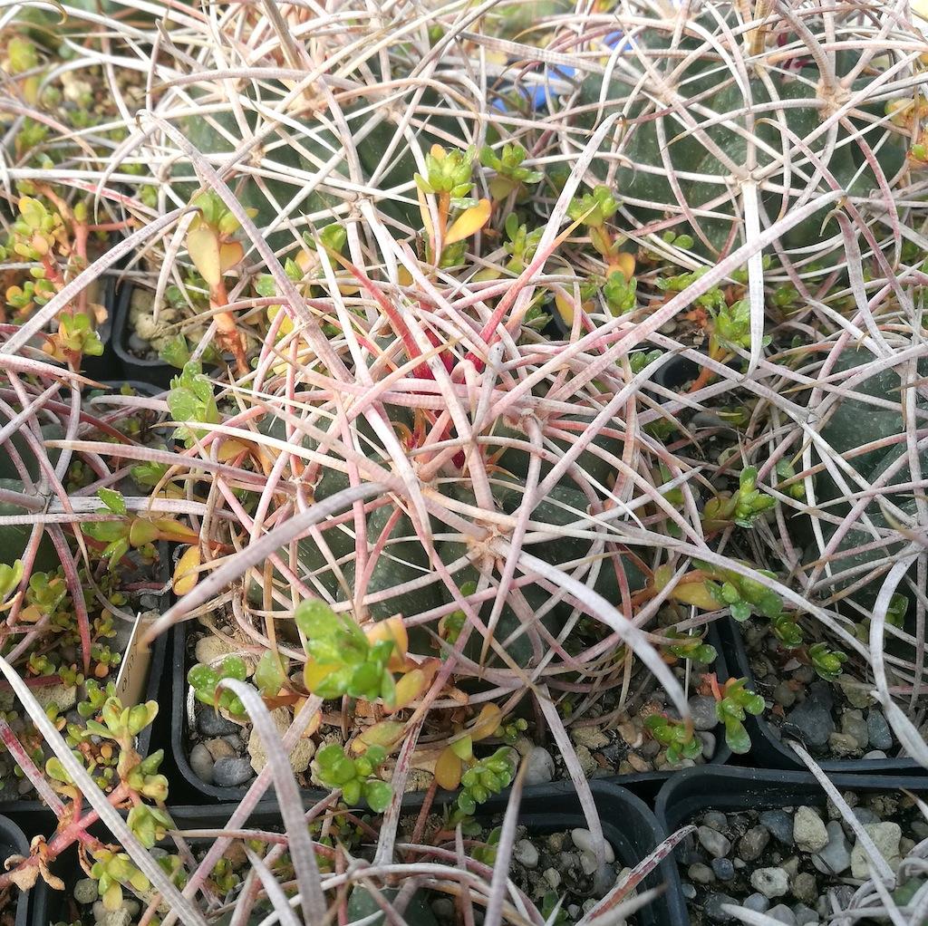 Ferocactus acanthodes, mia semina in marna