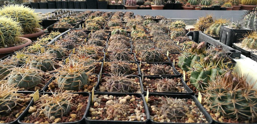 Gymnocalycium, mie semine