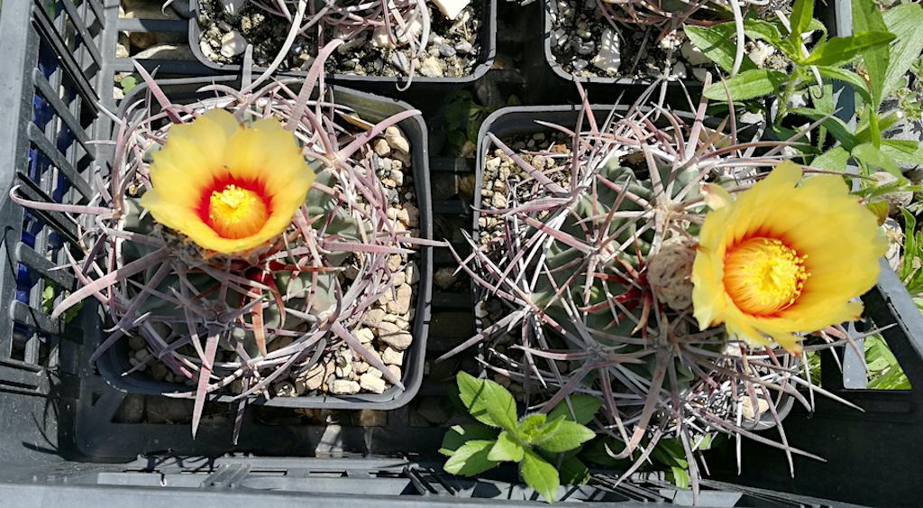 Echinocactus parryi: è davvero una pianta solo per veri esperti? Sfatiamo un falso mito