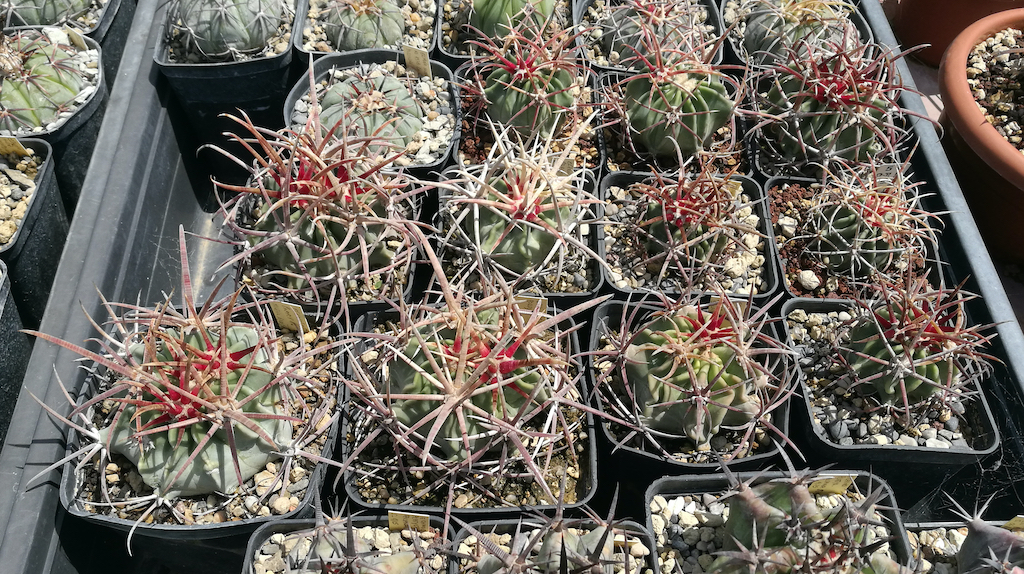 Echinocactus parryi, gruppo di piante
