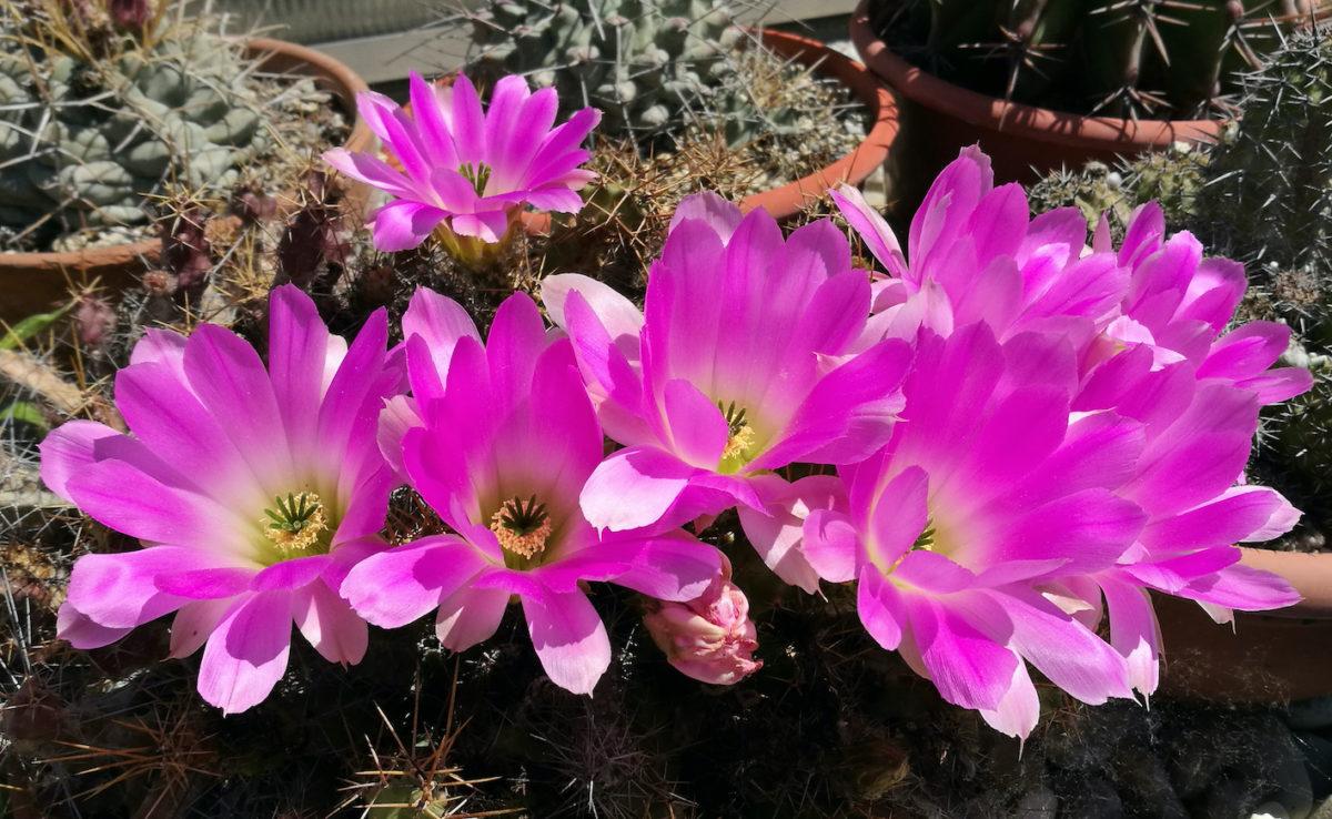 """Il """"Fiore tra le Spine"""" riparte in abbonamento a tutela dei contenuti e contro i furbi del web"""