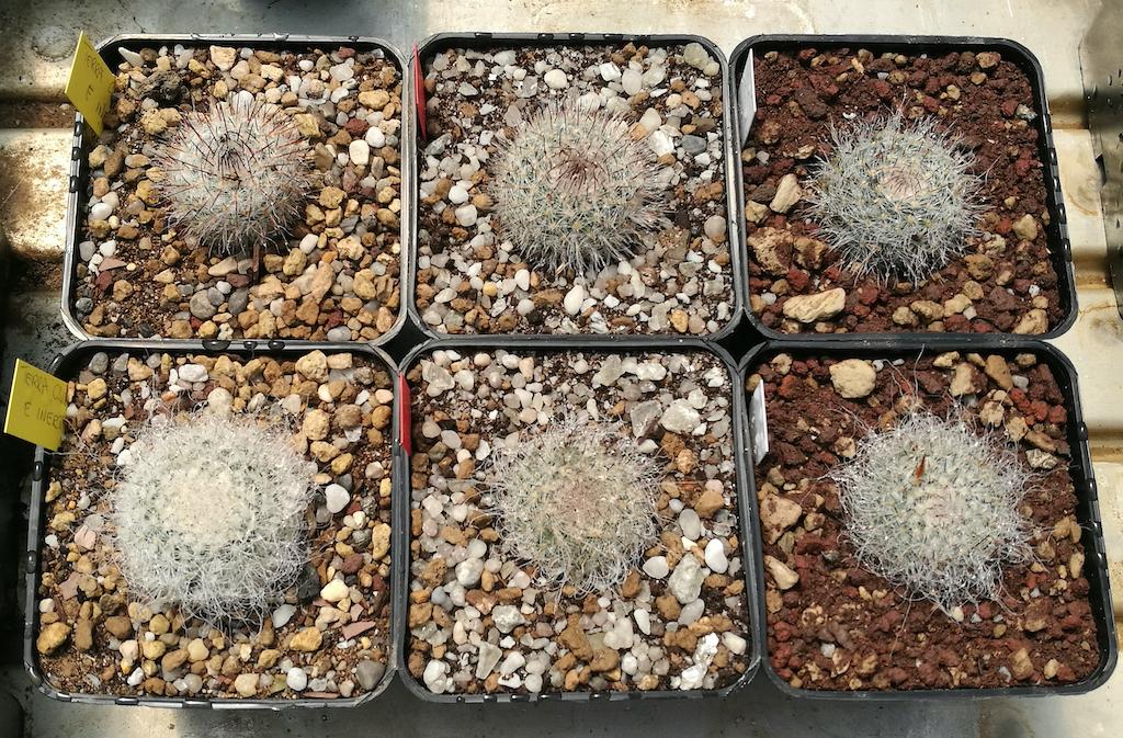 Mammillaria hahniana dopo il rinvaso