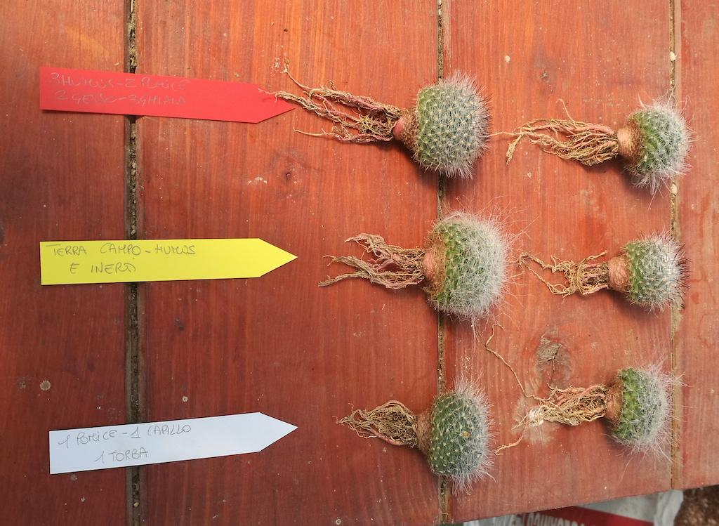 Mammillaria hahniana e cartellini