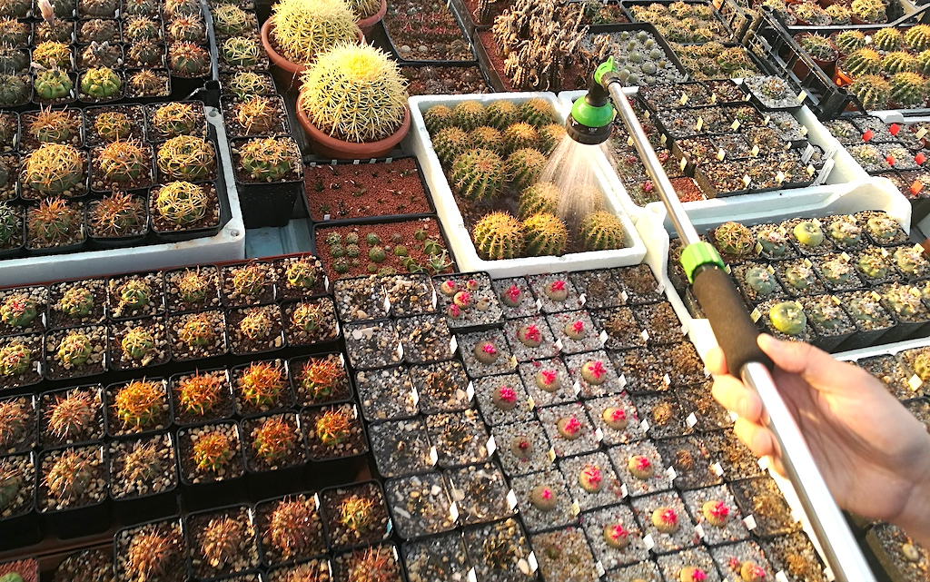 Bagnare i cactus, un breve video per capire quanta acqua dare alle nostre piante