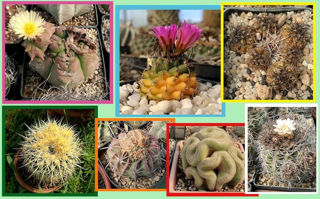 Anomalie dei cactus, mostruosità, crestature e variegature: cosa sono e perché si formano