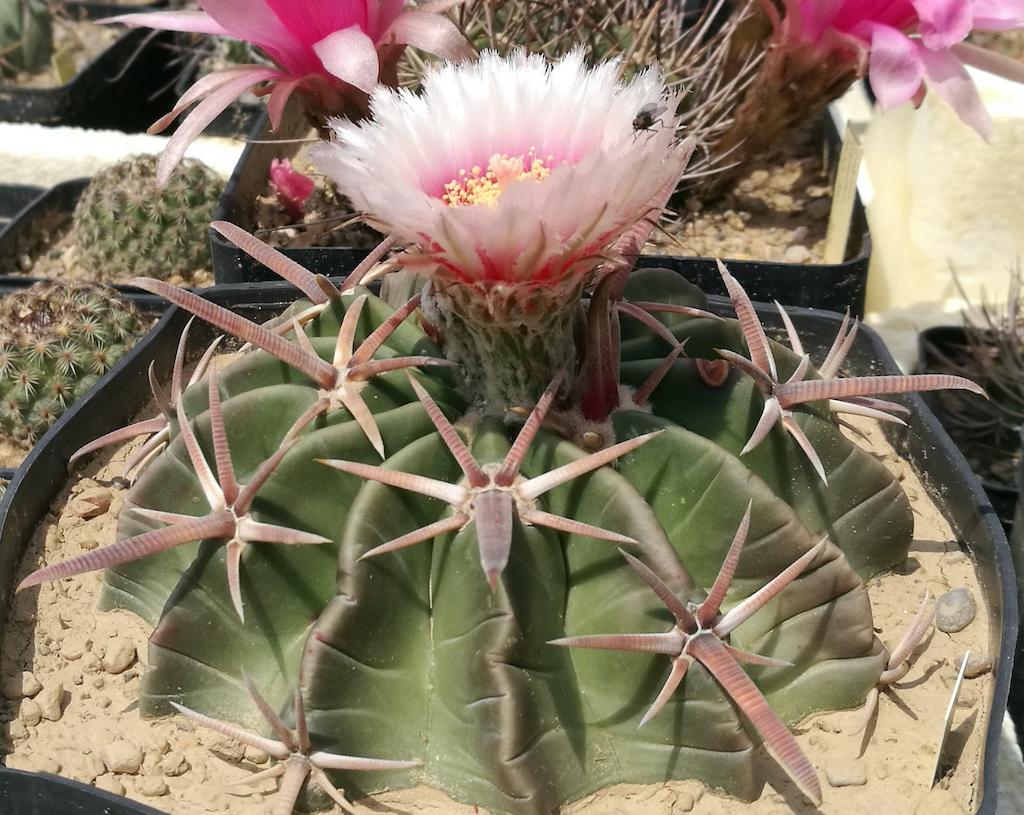 """Echinocactus (Homalocephala) texensis, descrizione e cura del cactus """"azzoppacavalli"""""""