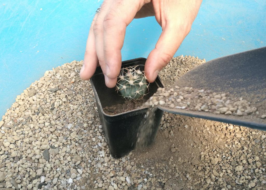 Rinvasare cactus: un esperimento con substrati diversi per capire come il terriccio influenza la crescita