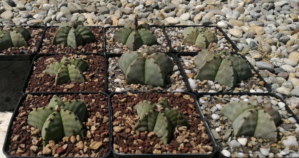 Astrophytum mie semine rinvasate