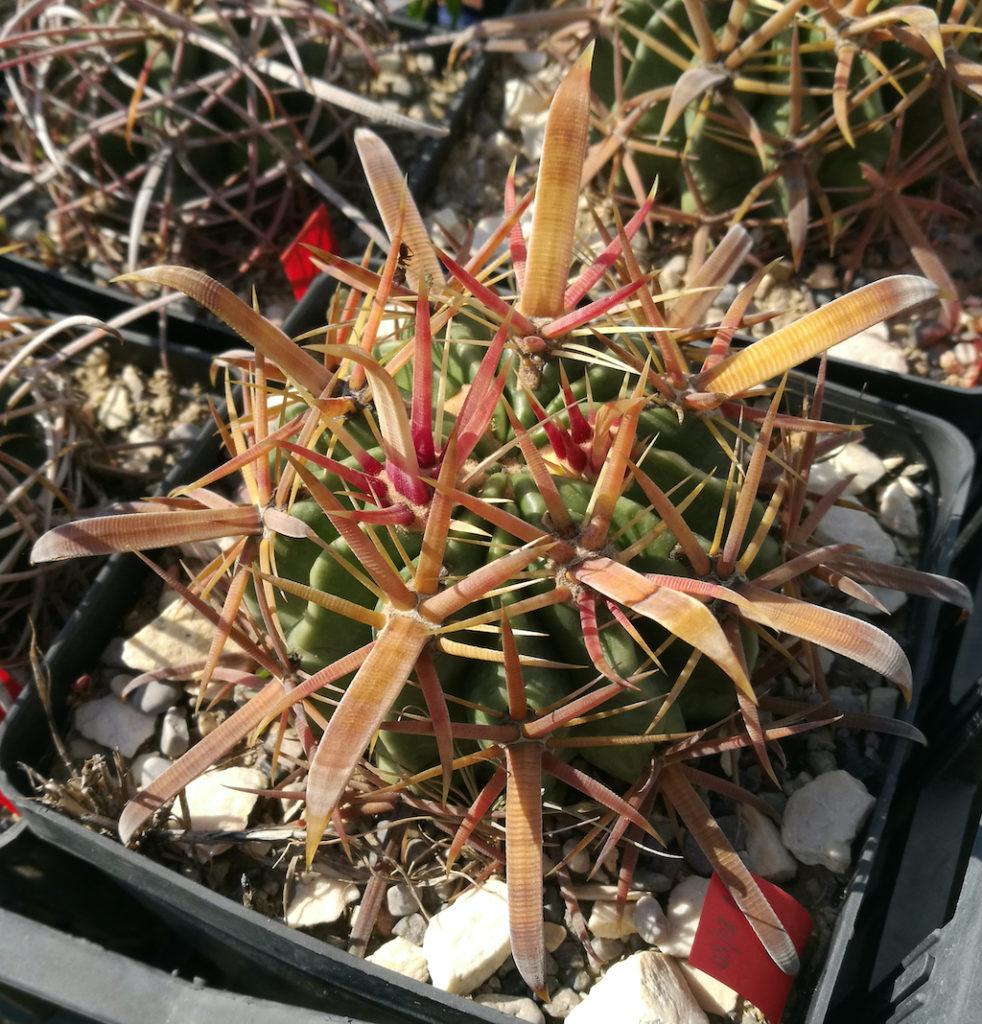 Ferocactus latispinus in terriccio sperimentale
