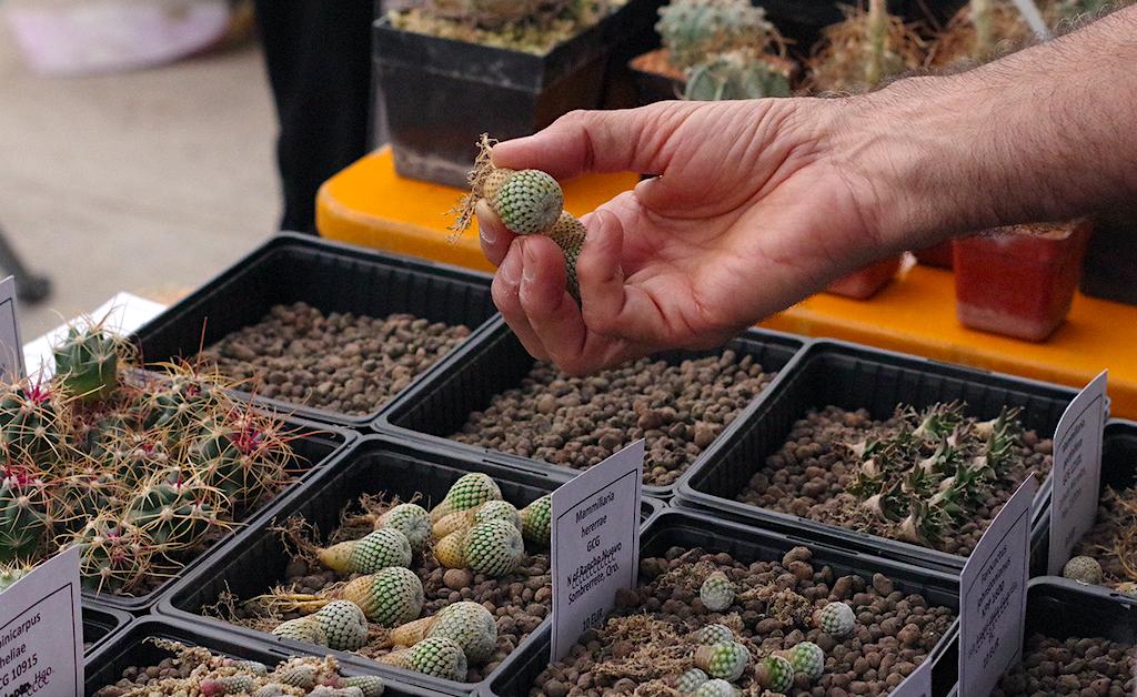 Cosa fare dopo aver comprato un cactus o una pianta grassa: pulizia delle radici e rinvaso