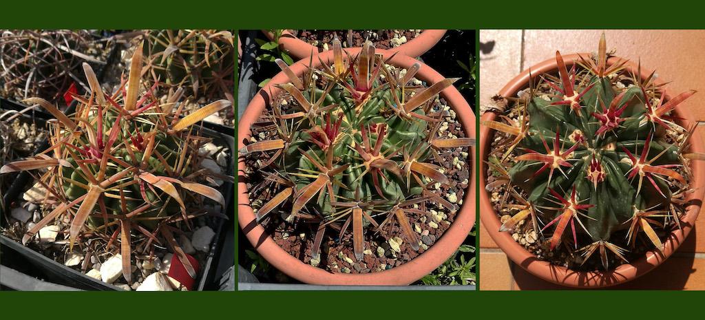 """Naturale o """"da balcone""""? Ecco come cambia un cactus a seconda del tipo di coltivazione"""