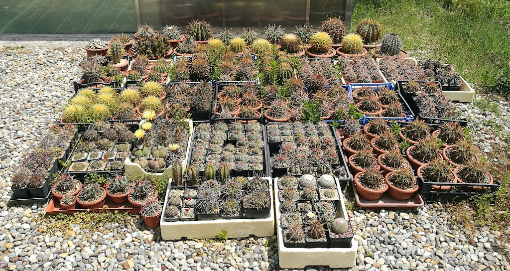 Ricoverare cactus e succulente in autunno: cosa fare e quando sospendere le bagnature