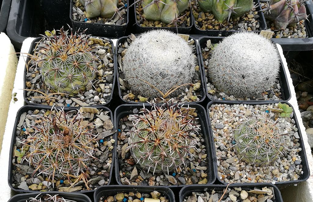 Coryphantha e Mammillaria