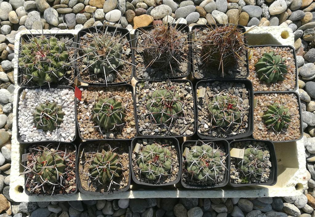 Thelocactus e Stenocactus mie semine