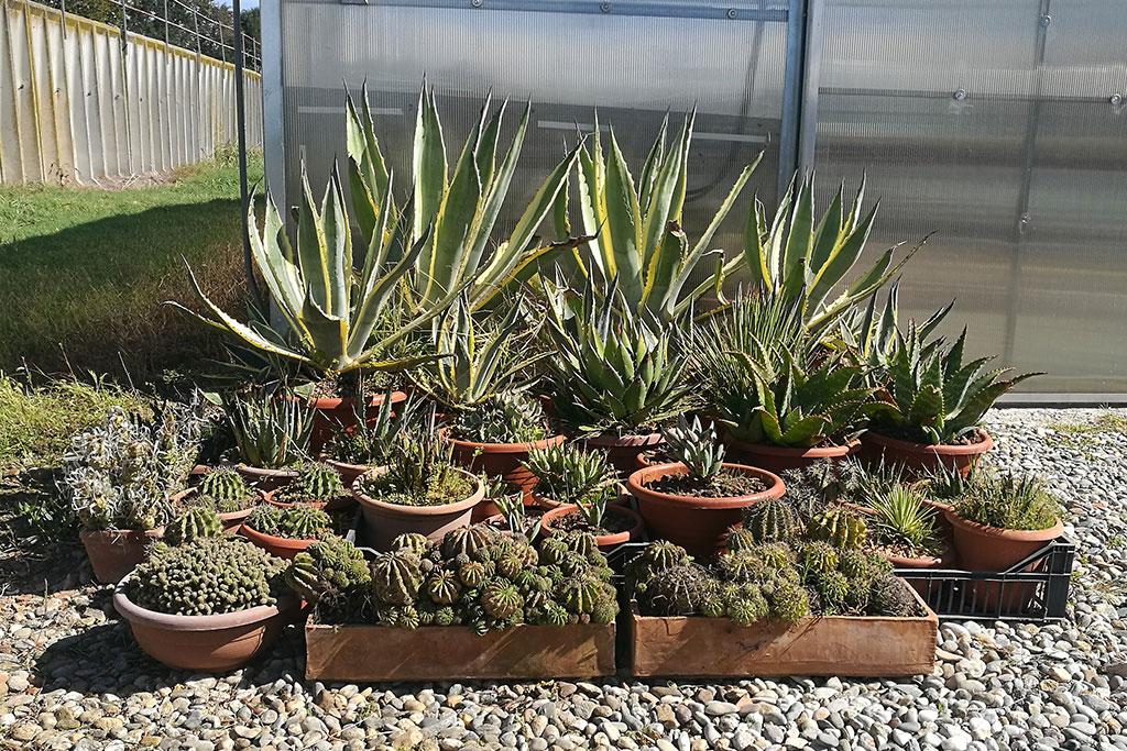 Agavi e altre succulente all'esterno