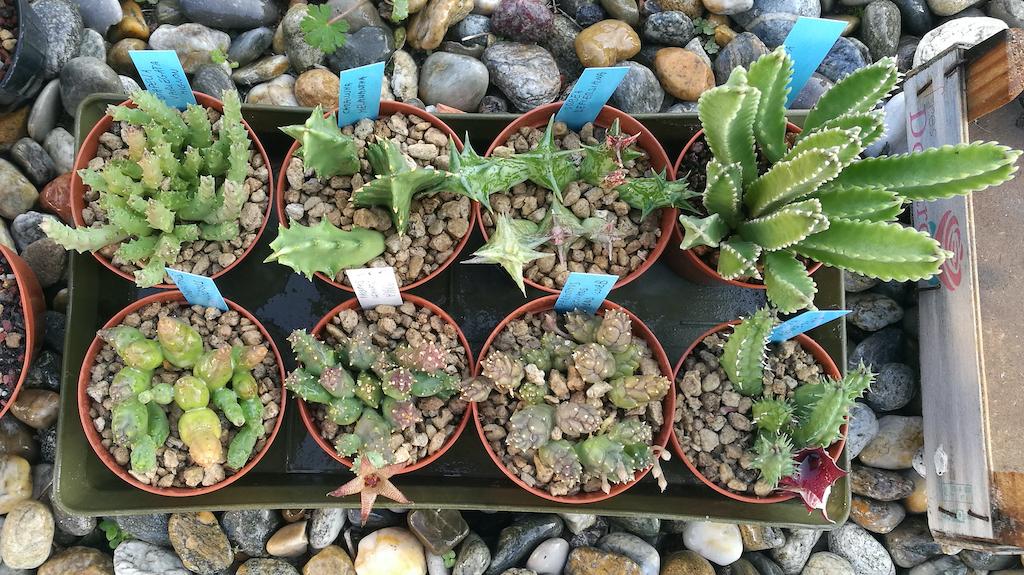 Asclepiadaceae in cassetta