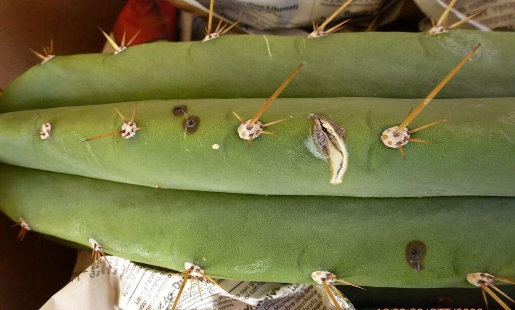 Cactus con macchie e marciumi