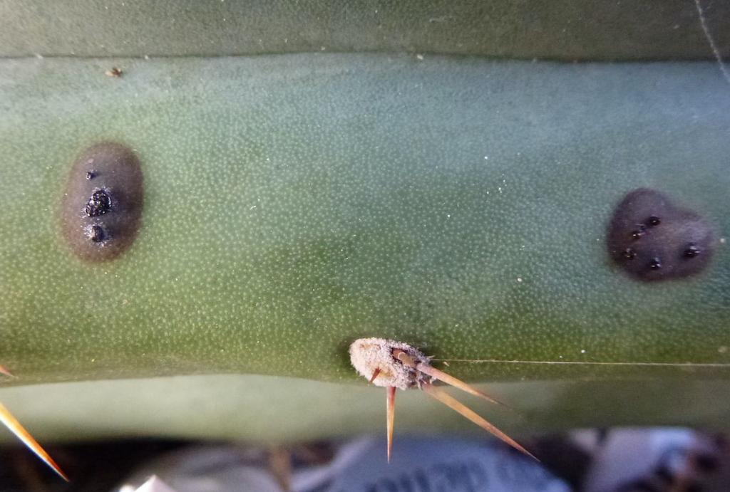 Particolare delle macchie su un cactus