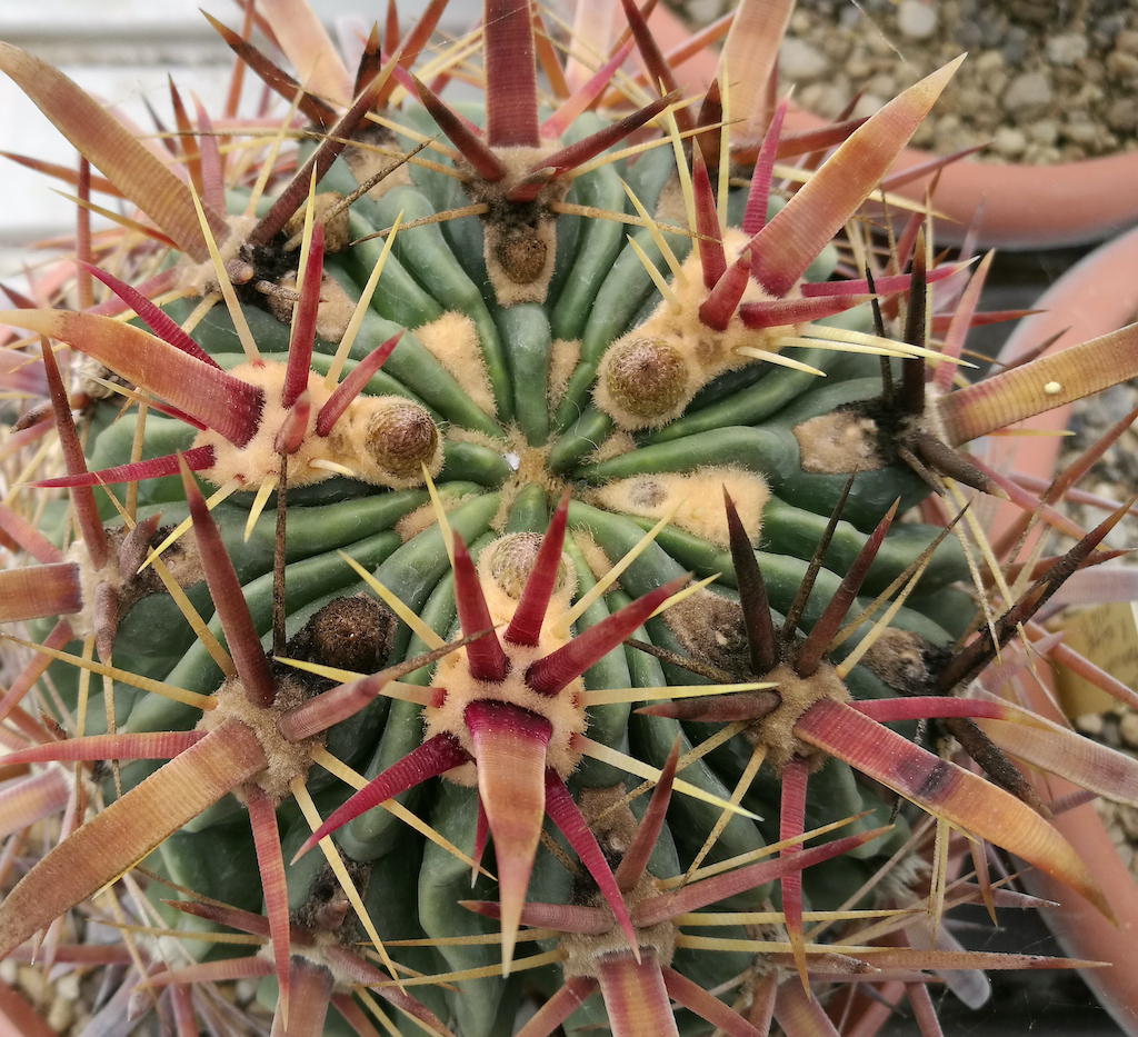 Ferocactus latispinus con fumaggine