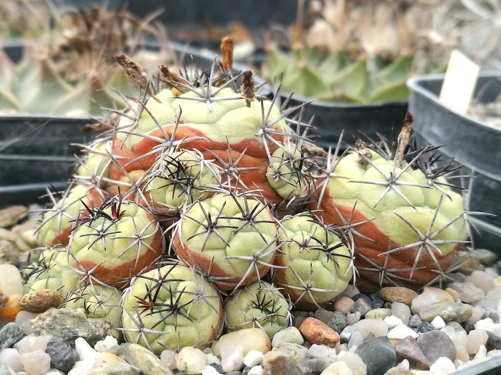 Ortegocactus mcdougallii con macchie naturali