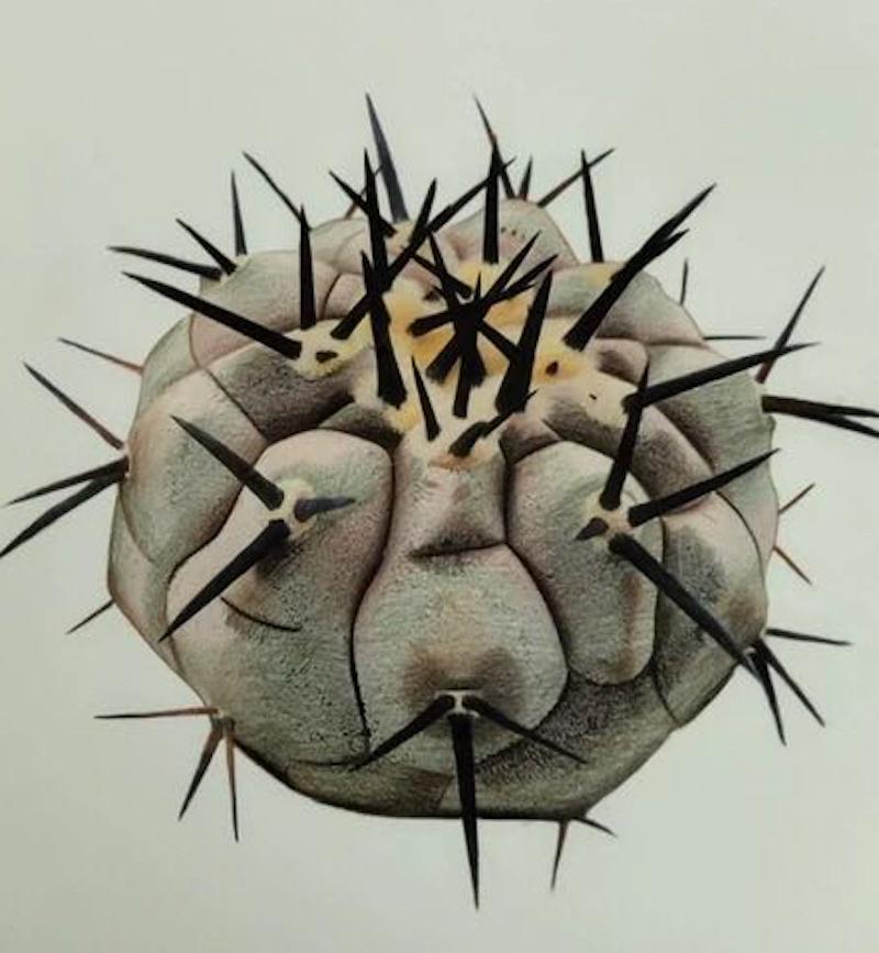 Copiapoa, disegno di Su Xu