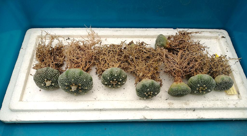 Quando ripicchettare le semine di cactus, come farlo correttamente e quale terriccio usare