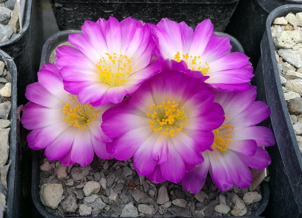 Mammillaria luethyi, l'incredibile storia della sua scoperta e tutti i consigli per coltivarla