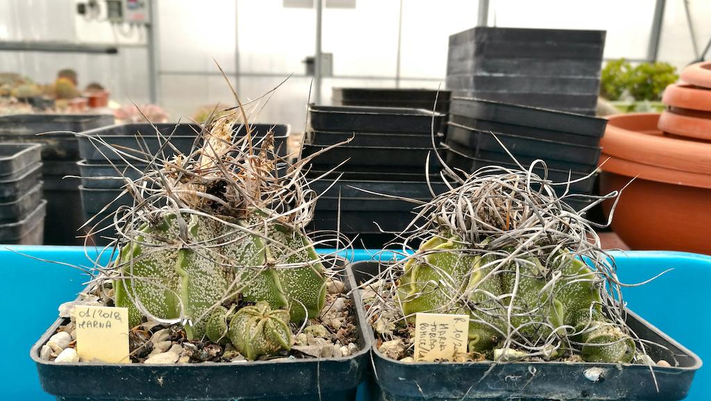 La semina spontanea: ovvero quando i cactus fanno tutto da soli, proprio come in Natura