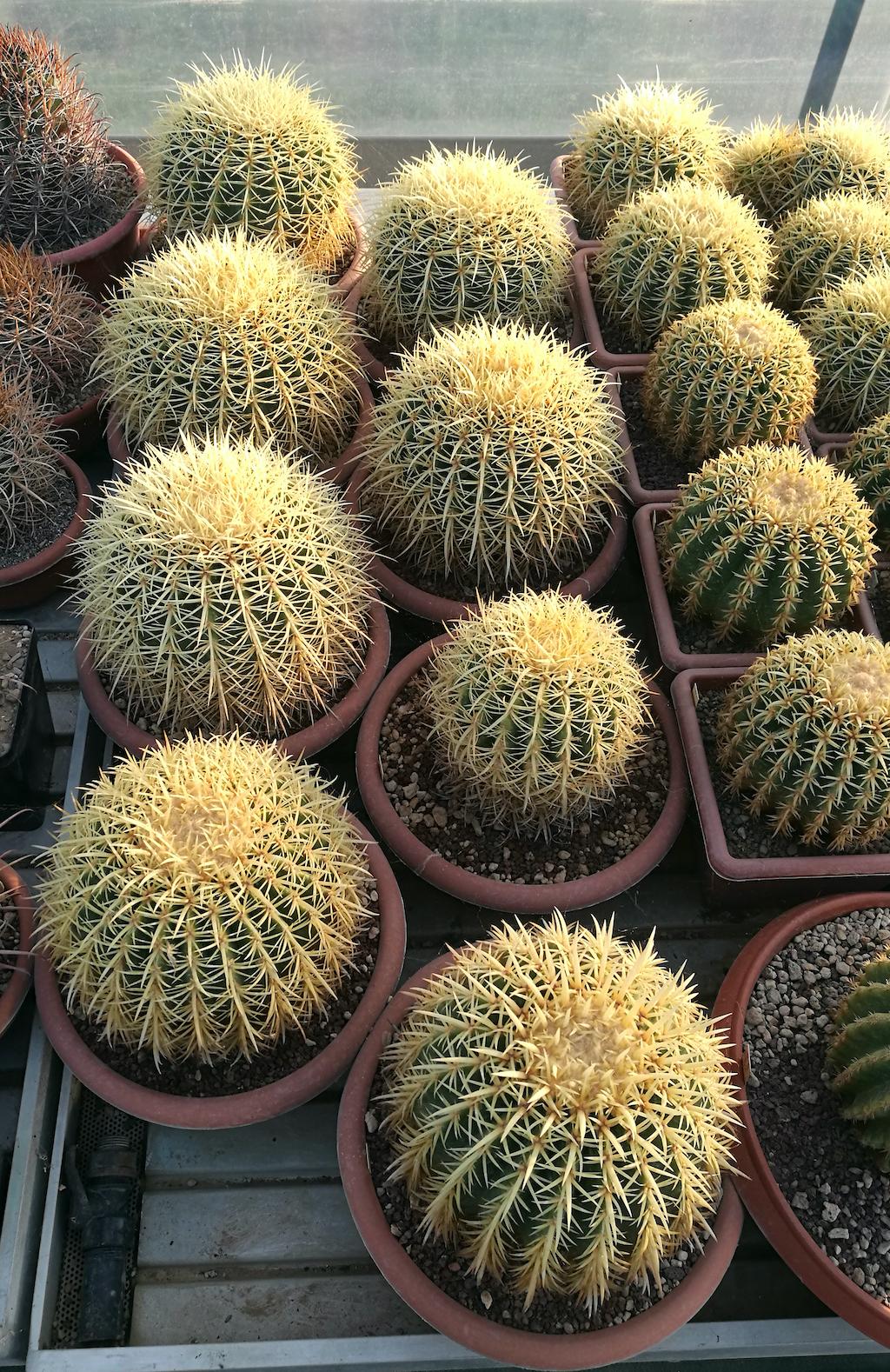 Echinocactus grusonii in ciotole