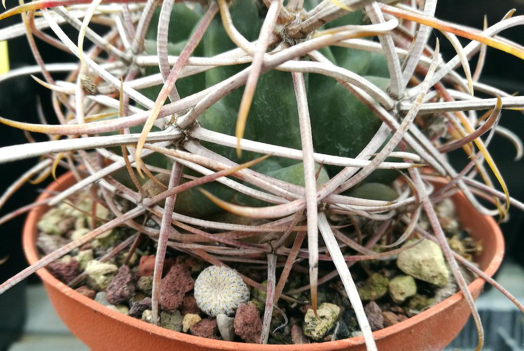 Ferocactus acanthodes con semina spontanea di Epithelantha