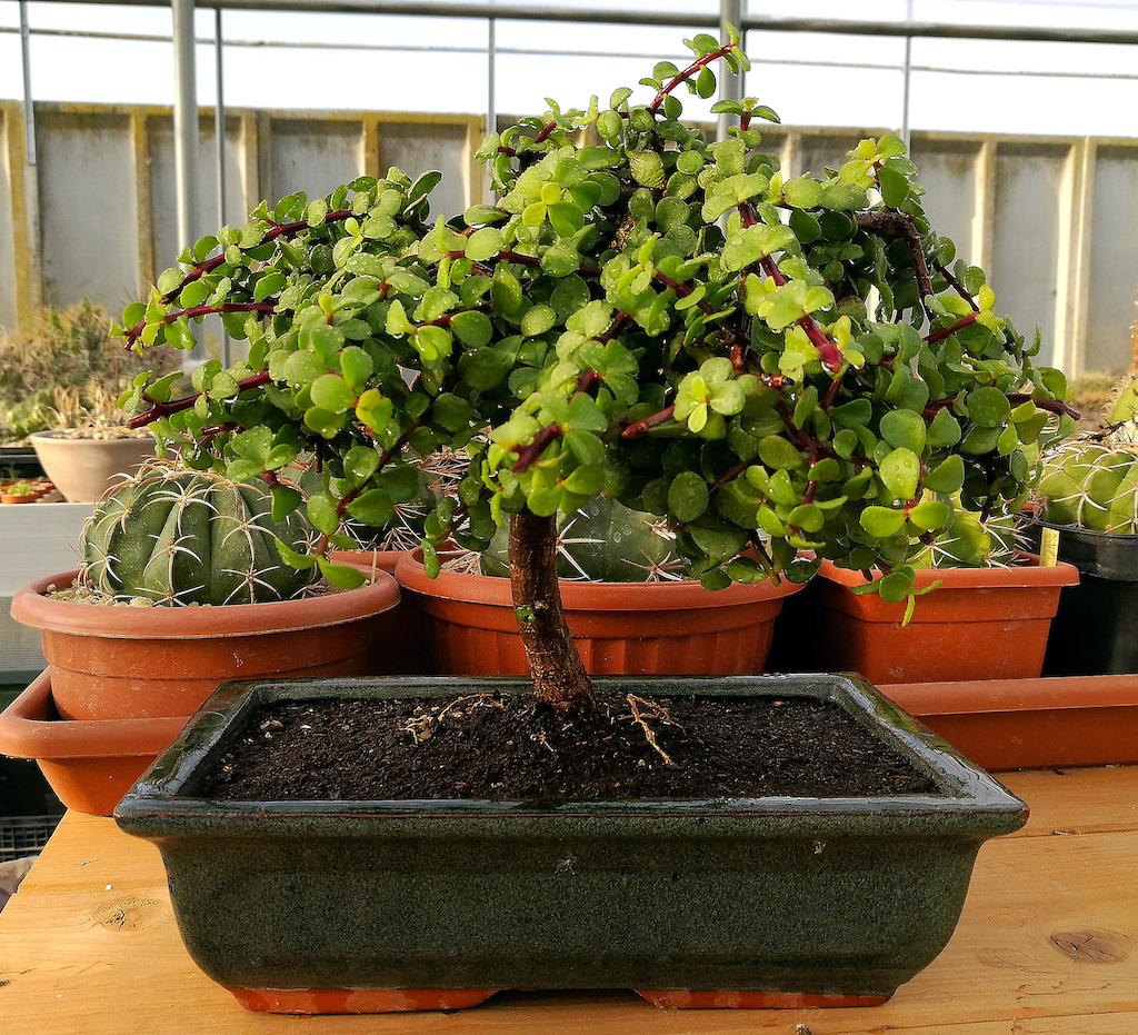 Portulacaria afra in vaso da bonsai