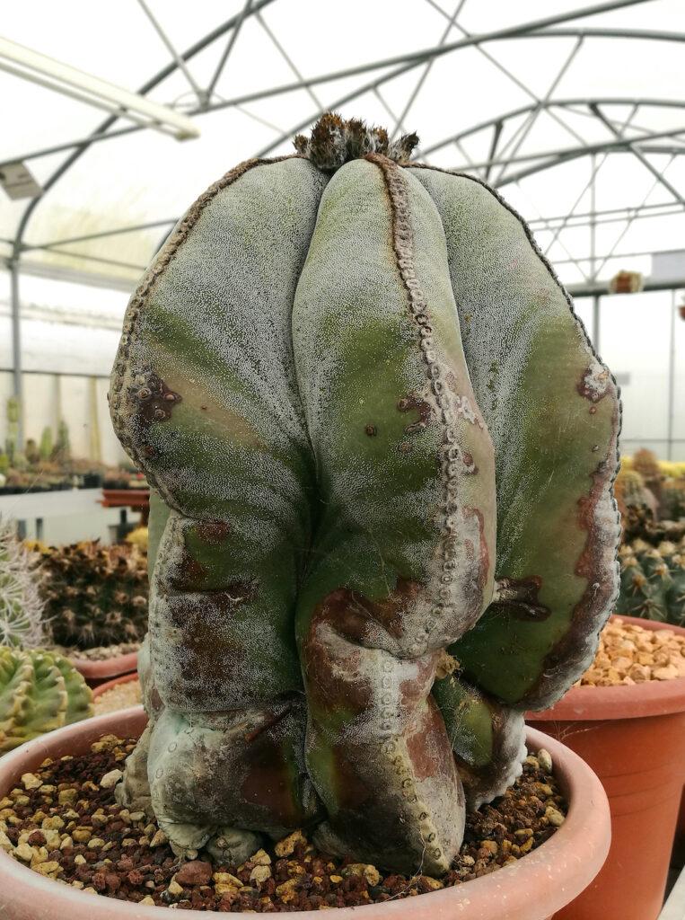 Astrophytum myriostigma con segni di vecchiaia