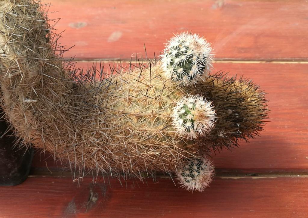 Come riprodurre i cactus e le piante succulente per talea e in quale periodo dell'anno procedere